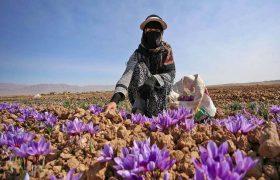 افزایش ۵۰ درصدی کشت زعفران در شهرستان ری