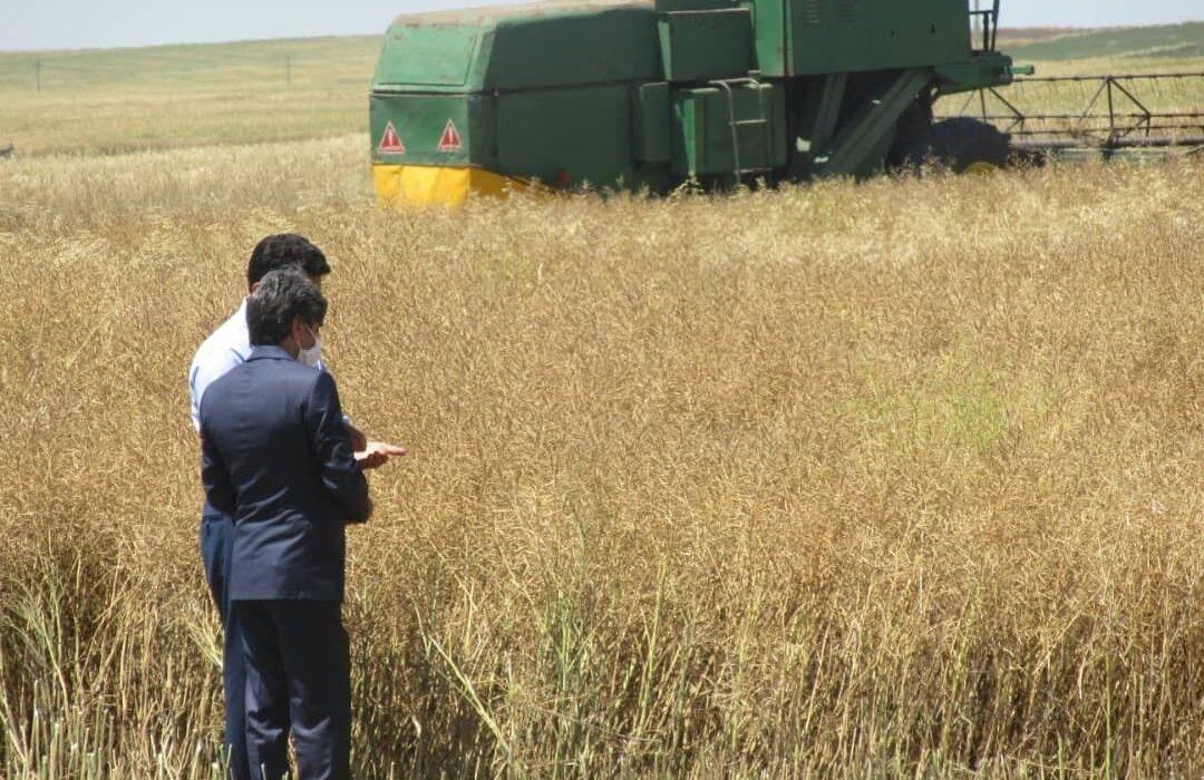برداشت کلزا از ۶۵۰ هکتار مزرعه شهرستان ری آغاز شد